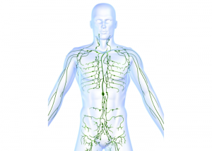 illustration of the lymph system in the body